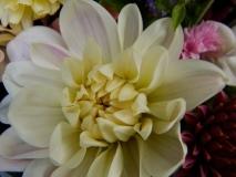 Pale blush dahlia