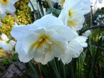Narcissi Winston Churchill