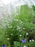 Nigella in the growing patch