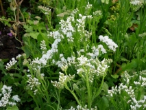 White Statice/Sea Lavender