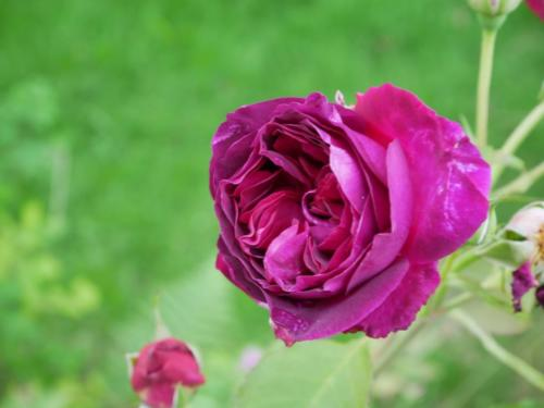 Scented English Rose